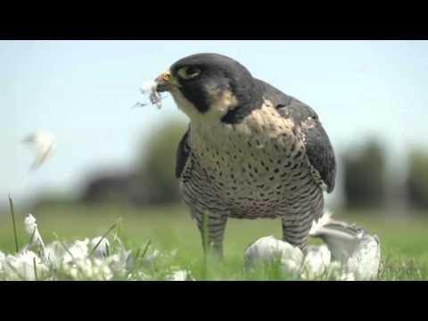 Overlast van Roofvogels beperken deel 3 van 3 (Dutch only)