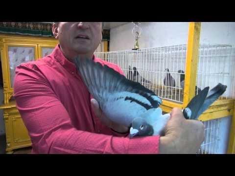 Pełne tajemnic gołębie Vervoorty - Asy przestworzy tel. 728 465 939