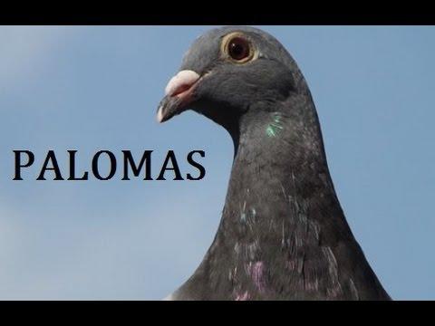 Mis Palomas salen afuera y entran al palomar. Colombofilia