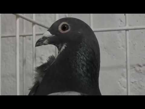 Garstka gołębi Wyżymaczy Ryszarda tel. 728 465 939