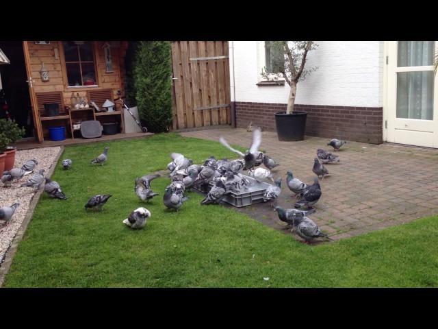 Passion4pigeons-de Jong-Santbergen