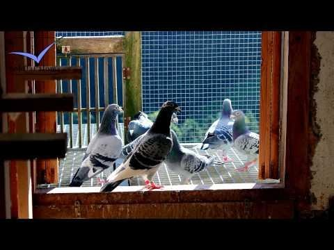 Manuel Urbieta [Racing Pigeons Loft / Taubenschlag / Palomar] (2013)