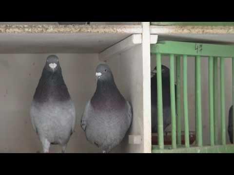 Chov holubů patří  k nejstarším koníčkům. Mistr J.Svoboda  Nové Město pod Smrkem