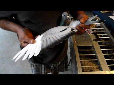 Naples Pigeon Racing Club - Shipping for 280 Mile Race