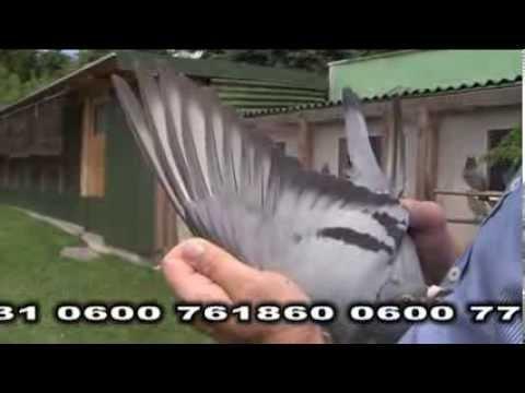 Marek Trzaska - Prudnik - Prezentacja gołębi