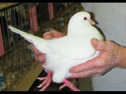 Ocala Pigeon Show - Pigeons - photo by Alyssa Percheron