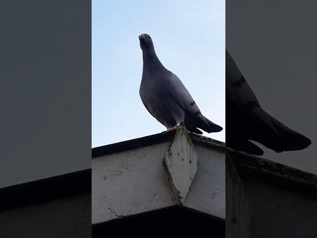 Kees Commijs Racing Pigeon Whisperer