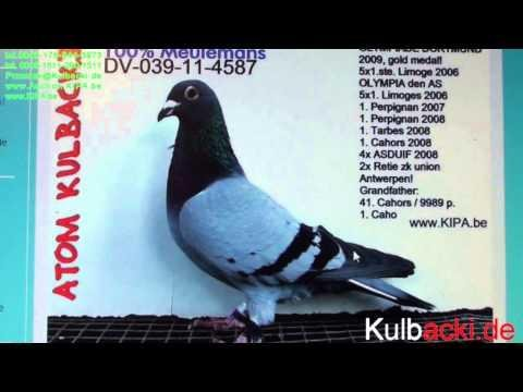 Auction.Kipa.be high breed racing pigeons auction Kulbacki Germany tel. 004915112901511