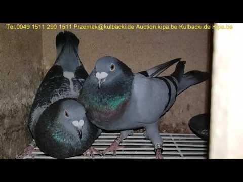 13.05 Champion Pigeons race Kulbacki 30min bevor basked,30min przed wkładaniem tel +49 1511 290 1511