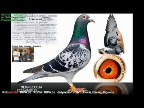 einkorben wkladanie na lot KULBACKI COMPANY FOR PIGEONS RACE WhatsApp 0049-1511-290-1511