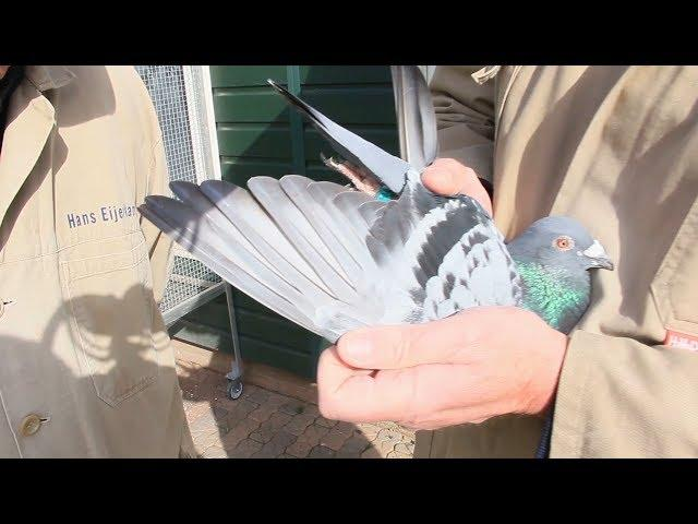 Vlog #30 presenting our first pigeon from Quievrain April 27th 2019