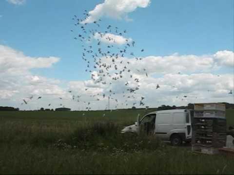 Training jonge duiven 2009 | Training young pigeons 2009