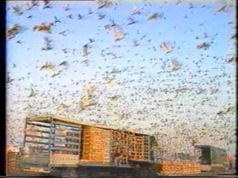 Amazing Video 150000-200000 Pigeon Release