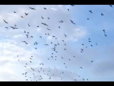 Palomas De Camaguey Cuba - Homing pigeons of Camaguey Cuba -