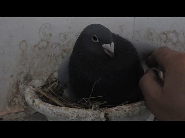 Gołębie . Prezenty , prezenty od Ryszarda...Tel. 728 465 939