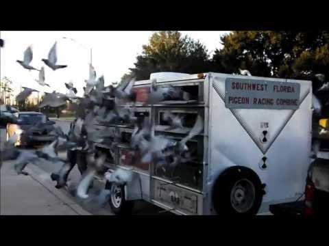 200 Mile Pigeon Race
