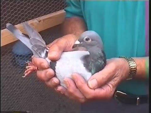 Video 26: L&SECC Guernsey Pigeon Races 2001