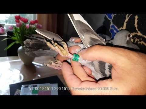 samica fieneke na sprzedaż ostatnia corka 680  tel 0049 15112901511