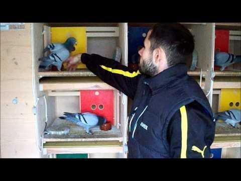 Brieftauben, duiven, pigeons, Rene Buhl