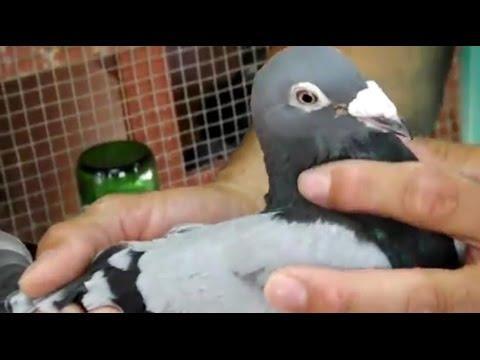 Salvage Loft - 500 millas - Discutiendo el campionato adultas 鸽子
