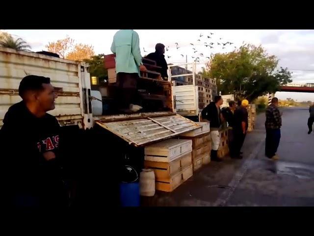 Esnel from Camaguey Cuba RACING  PIGEONS