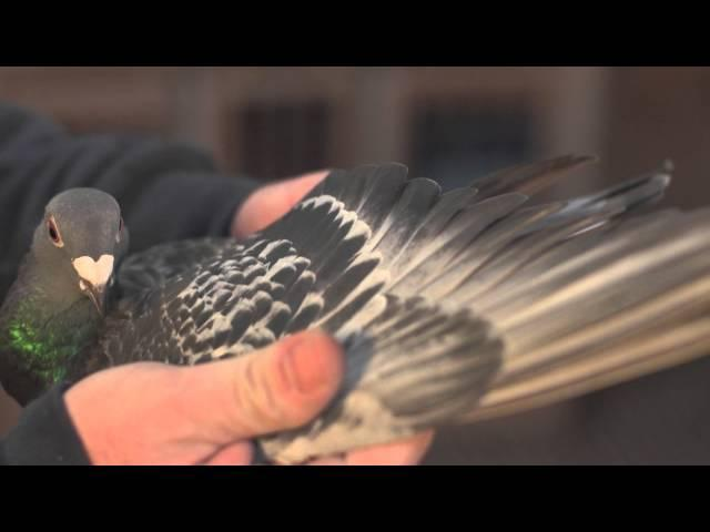 Marcel Sangers Racing Pigeons - Duiven - BLACK DIAMOND - Eefde - Presentation
