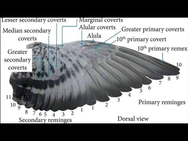 Suelta de camaguey en Pinar del Rio,llegada de las palomas de Hersis Dones