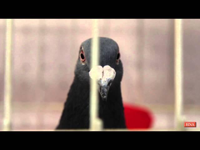 Tauben-Ausstellung: die Schönsten, Schnellsten, Außergewöhnlichsten