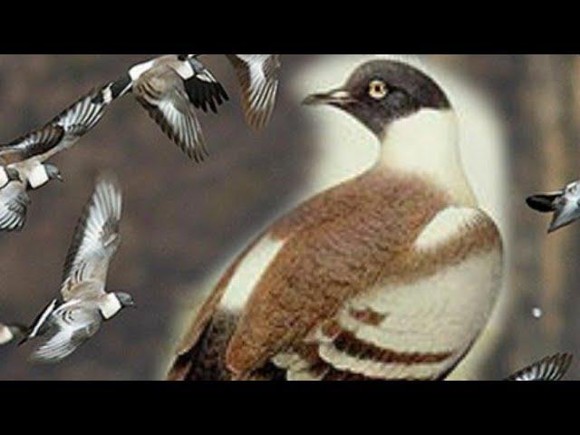 ????Snow pigeons-12°C/super naturalne produkty dla gołębi firmy Kulbacki produkty które odrazu dział