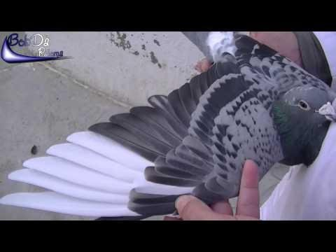 Rafael Ruz present his old racing pigeon from 1998 (2012) (Racing pigeons, Brieftauben, Palomas)