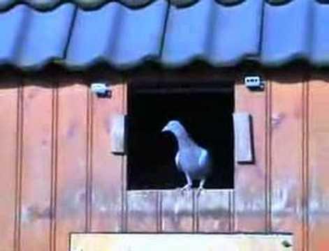 jongen duiven