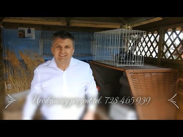 Gołębi prezent od Staśka dla Wojtka tel  728 465 939