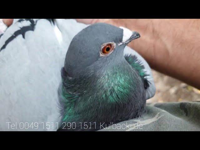 Starsze młode z stycznia na sprzedaż gotowe do rozpłodu, older young pigeons for sale część 3 part 3