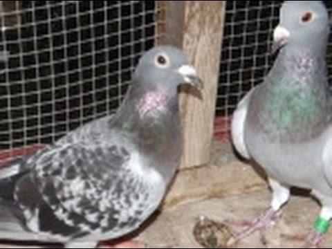 My Loft - My Pigeons - Loft Update - Hofkens - New Pigeons
