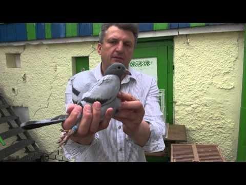 Szybkie młode gołębie na sprzedaż T.728 465 939