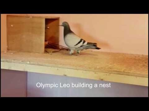 Olympic Leo building a nest