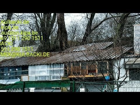 High quality of Racing pigeons Kulbacki tel 0049 1511 290 1511