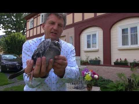 Prezent gołębi dla Damiana od żony tel. 728 465 939