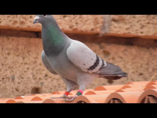 ESP-79513-2017 First pigeon arriving Sunday May 27, 2018 300 Km Tough Race Lanzarote Island