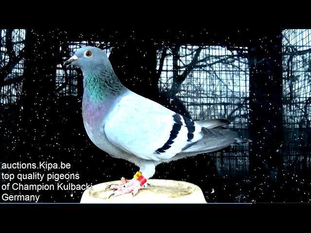 SAHARA on my auctions.KIPA.be dziki gołąb z pustyni x Rasa Kulbacki wild pigeon x Race Kulbacki