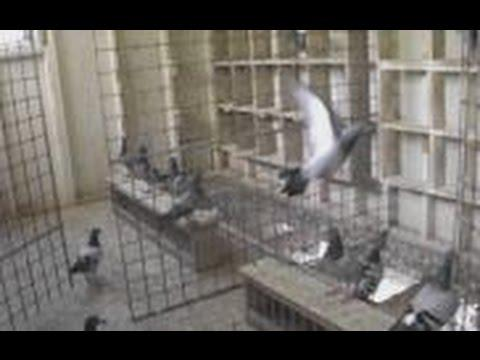 The Birdmans Call - Trap Trainning Pigeons - Pigeon keeping Tips