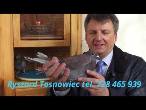 Gołębi prezent dla syna tel. 728 465 939