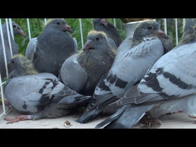 Szybkie gołębie z linii Żniwiarzy dla Zbyszka tel. 728 465 939