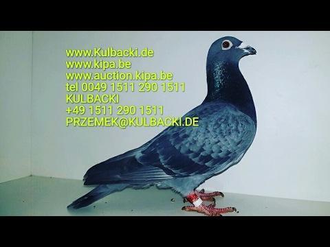 SUPER GOLEBIE NA SPRZEDAŻ SUPER PIGEONS FOR SALE CONTACT TEL 0049 1511 290 1511
