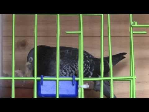 Feeding a baby pigeon