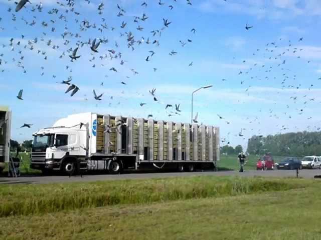 duivenlossing Afdeling 10 rayon 10 en 11 Ravenstein 07072012