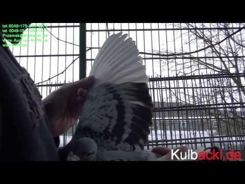 3 super samce na sprzedaz/for sale super cock RACING PIGEON GERMANY KULBACKI STUD- Hodowla Gołębi