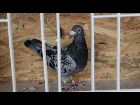 Racing pigeon for sale 2016 - Jan Aarden Cock (2009)