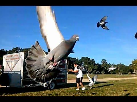 southwest florida pigeon racing combine ( Leesburg FL 9/21/2013 )