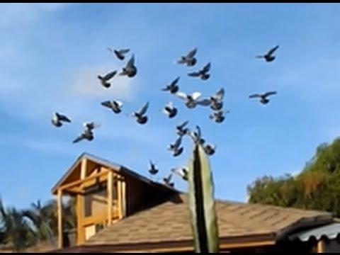 Pigeon Racing Training Toss  - Release and Return to loft